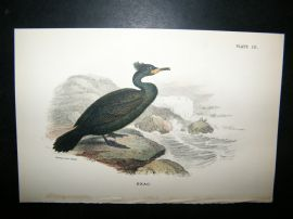 Allen 1890's Antique Bird Print. Shag
